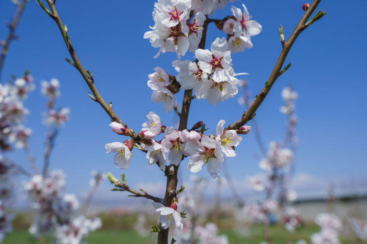 Flower Flowering Plant Plant Fragility Vulnerability  Freshness Growth Beauty In Nature Tree Blossom Day Close-up Petal Branch Nature Springtime Cherry Blossom Twig No People Sky Flower Head Cherry Tree Outdoors Pollen Spring Exploring Fun