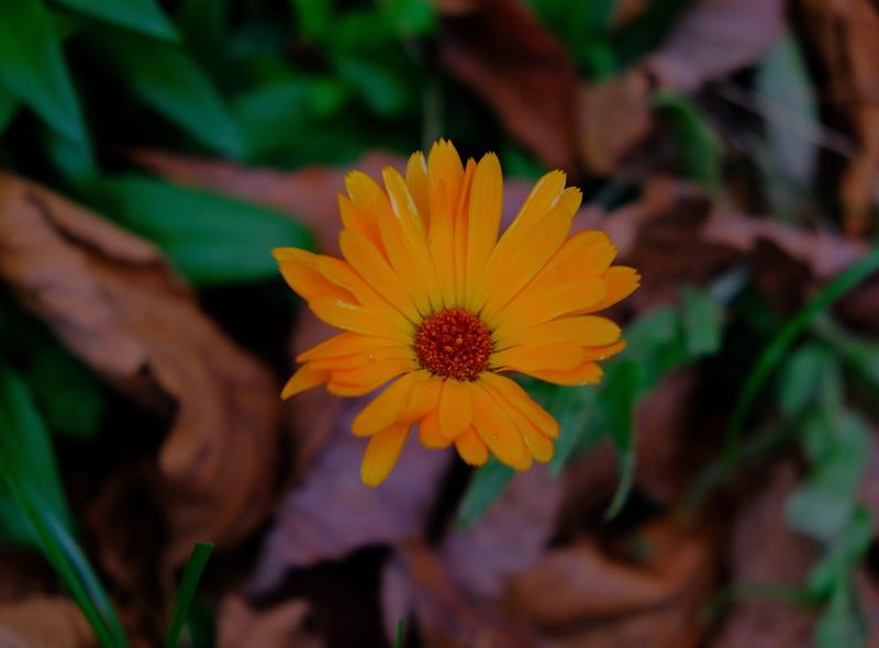 Flowering Plant Flower Beauty In Nature Close-up Petal Nature Focus On Foreground Gazania Outdoors Flower Head Yellow