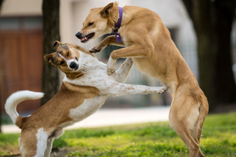 Dogs fighting at park
