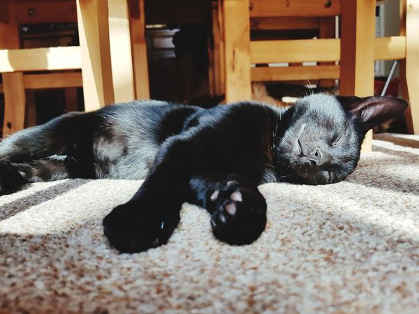 Pets One Animal Animal Themes Domestic Animals Mammal Dog Sleeping Resting Animal Lying Down Relaxation No People Black Color Indoors  Day Close-up
