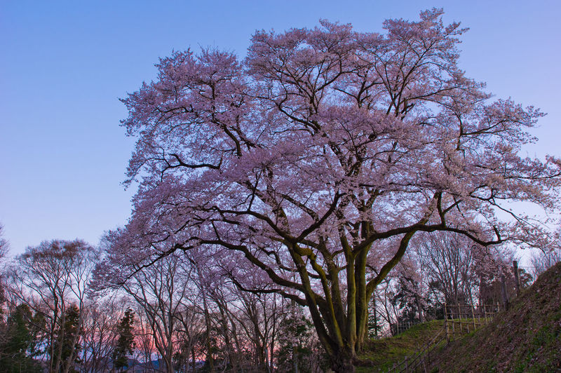 Tree Plant Sky Nature Growth Beauty In Nature Flower Branch Flowering Plant Blossom Day Cherry Blossom Springtime Pink Color Low Angle View Clear Sky Fragility Tranquility No People Freshness Outdoors Cherry Tree Sunset Sunset #sun #clouds #skylovers #sky #nature #beautifulinnature #naturalbeauty #photography #landscape Japan Japan Photography Saitama Saitama , Japan