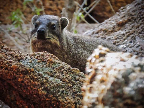 Dassie Hyrax Living On Rocks Hyrax Animal Animal Themes Animal Wildlife Animals In The Wild One Animal Vertebrate No People Nature Mammal Day Rock Close-up Solid Rock - Object Outdoors Looking Looking Away EyeEmNewHere