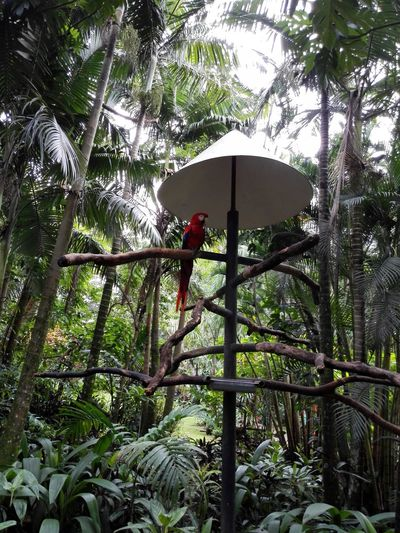 Pappagallo Ara Rossa (Alajuela, Costa Rica) Summer In The City Sky Bird Tree Red 10 Forest Park Zoo Parrot Birdcage Love Is Love A New Beginning Ave Love The Game Rossa Lapa Zoo Ave  Ara Perching Be Brave Roja World Cup 2018 Alajuela Summer Sports Creative Space Captive Animals Adventures In The City EyeEmNewHere Lapa Roja Visual Creativity Summer Exploratorium This Is Latin America Going Remote Focus On The Story This Is My Skin Small Business Heroes #FREIHEITBERLIN The Great Outdoors - 2018 EyeEm Awards The Architect - 2018 EyeEm Awards Plastic Environment - LIMEX IMAGINE Modern Hospitality The Traveler - 2018 EyeEm Awards The Street Photographer - 2018 EyeEm Awards The Photojournalist - 2018 EyeEm Awards The Creative - 2018 EyeEm Awards The Still Life Photographer - 2018 EyeEm Awards The Portraitist - 2018 EyeEm Awards The Fashion Photographer - 2018 EyeEm Awards Summer Road Tripping The Troublemakers Urban Fashion Jungle HUAWEI Photo Award: After Dark #urbanana: The Urban Playground My Best Travel Photo This Is Strength Plant Growth Nature Day Tropical Climate Palm Tree Low Angle View No People Outdoors Animal Wildlife Branch Green Color Animals In The Wild Vertebrate Beauty In Nature One Animal Animal Bamboo - Plant Autumn Mood This Is Natural Beauty 50 Ways Of Seeing: Gratitude Holiday Moments The Modern Professional A New Perspective On Life