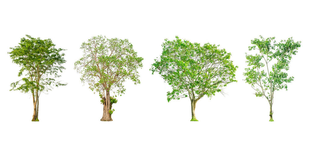 Set of tree shape and Tree branch on white background for isolated, Multiple tree on white background with clipping path. Branches Clipping Dries Dry Tree Green Growth Isolated Nature Plant Shape Shapes Tree Trees Branch Clipping Path Dead Dry Ecology Environment Forest Isolated On White Isolated White Background Large Outdoors Spring