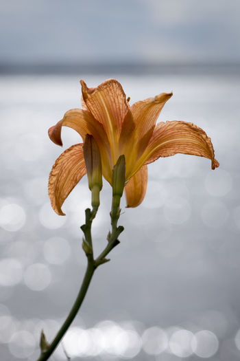 Close-up of day lily blooming against lake
