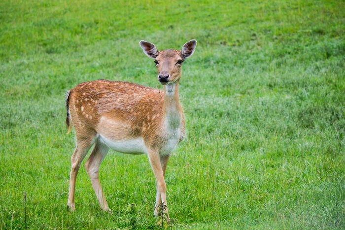 Animales Animals Ciervo Corzo Deer Natur Naturaleza Nature Reh Rehbock Roebuck Tier Tiere Wildtiere