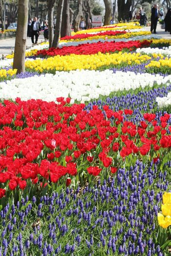 Close-up of red tulip flowers in park