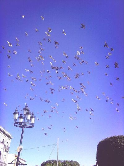Palomas Doves Enelcielo Ameca palomas volando sobre el cielo de ameca jalisco mex.