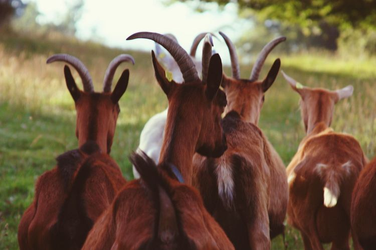 Animal Wildlife Animal Themes Animals In The Wild No People Mammal Outdoors Day Nature Eating Close-up Grass Tree Herd Of Goats Goats Horned Herd Animal Green Summer Beauty In Nature Morning Light Rural Scene Grass Meadow Landscape EyeEm Best Shots - Nature