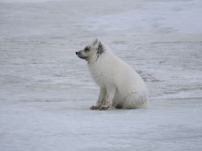 Side view of arctic fox