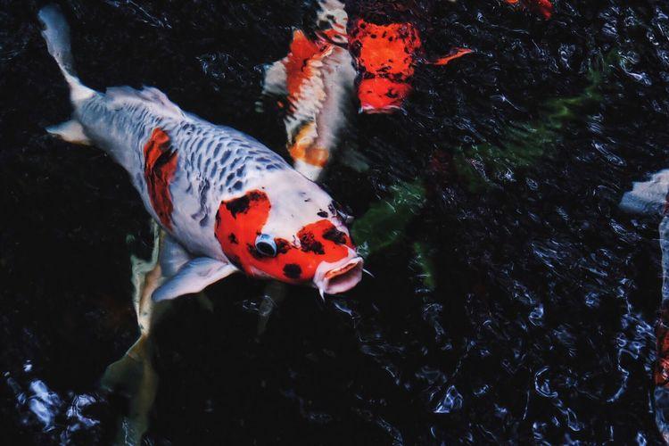 Close up of koi carp swimming in water