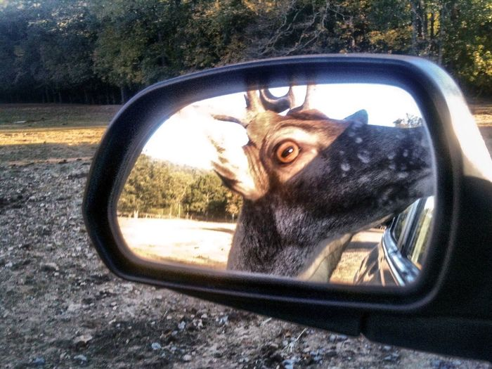 Car Mirror Deer Holy Shit