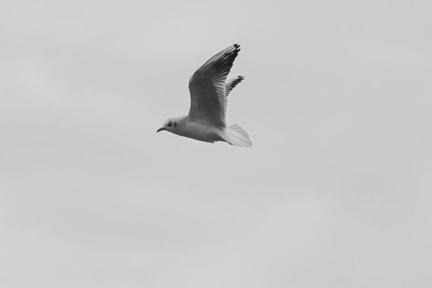 Bird Photography Birds In Flight Birdwatching Black & White Blackandwhite Photography Bw_collection Bw_lover Capture The Moment Closeup EyeEm Nature Lover Fine Art Photography Fineart From My Point Of View Learn & Shoot: Simplicity Maglido Minimalism Monochrome Noir Noiretblanc Seagull
