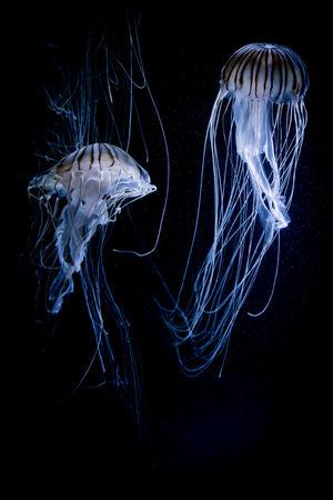Aquarium Aquarium Life Black Background Canon Canon 70d Canonphotography Diving Jellyfish Jellyfish Gallery Natgeo Natgeowild Qualle Quallen SCUBA Scuba Diving Seacreatures Seacrets Tauchen Underwater Underwater Photography Underwaterphotography Wildlife Wildlife & Nature Wildlife Photography Wildlifephotography