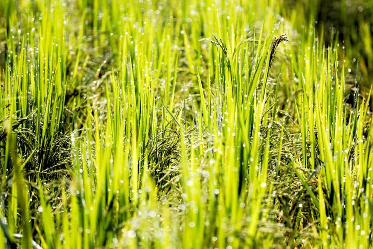 Cereal Plant Backgrounds Rice Paddy Full Frame Field Agriculture Close-up Grass Plant Green Color Blade Of Grass Dew Agricultural Field Crop  Farmland Cultivated Land Ear Of Wheat Barley Combine Harvester Farm Plantation Droplet Drop RainDrop Plant Life Damselfly Rice - Cereal Plant Wheat Oilseed Rape