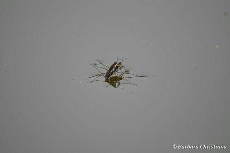 Insects  Insekten Wasserläufer Taking Photos