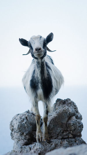 Portrait of goat standing by rock against sky