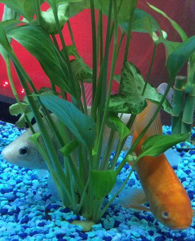 Fish Fish Mom Koi Mixes Aquarium Aquatic Life Natural Plant Check This Out Hello World Taking Photos Enjoying Life Princess Peach Caeser Gold White Pearly Golden Self Taught Learning