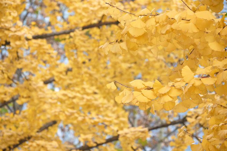 Close-up of yellow cherry blossom tree