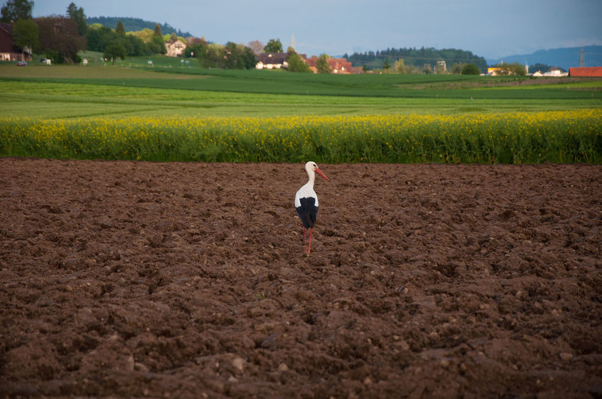 Agriculture Animal Animals Animals In The Wild Bird BYOPaper! Field Field Growth Landscape Nature Nature Outdoor Outdoors Rural Scene Stok Storch Storks Störche The Great Outdoors - 2017 EyeEm Awards Vogel The Great Outdoors - 2017 EyeEm Awards EyeEmNewHere