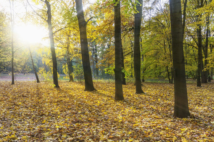 Low Afternoon Sun in Autumn Forest Berlin Germany 🇩🇪 Deutschland Color Image Horizontal Outdoors No People Tree Plant Beauty In Nature Nature Plant Part Sunlight Day Leaf Tranquility Autumn Land Change Forest Flooding Sun Sunlight Sunray Yellow Autumn Color