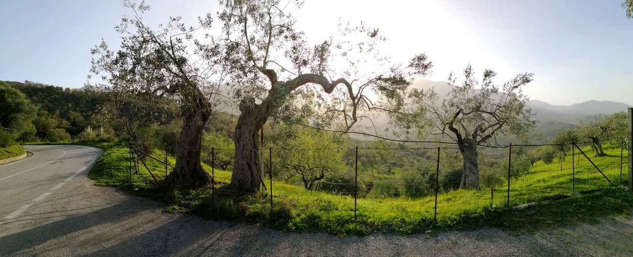 Olive trees in Madonie national park mountains panorama Olive Tree Olive Trees Olive Tree Landescape Madonie Mountains Madonie Sicily Castelbuono Tree Sky Grass In Bloom Botany Cultivated Land Plant Life Stamen Topiary Apple Blossom Petal Fence Agricultural Field Field Blooming Growing Flower Head Blossom
