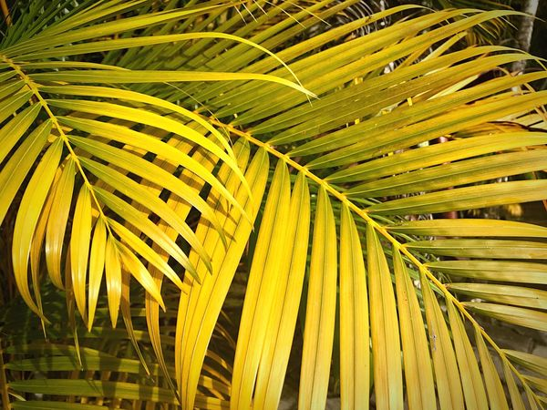 Colours Nature EyeEm Nature Lover Natural Beauty EyeEmBestPics Eyeemphotography Shadows & Lights EyeEm Masterclass EyeEm From My Point Of View Textures and Surfaces EyeEm Best Shots Growth Leaf Palm Tree Plant Plant Part Day No People Palm Leaf Nature Tropical Climate Tree Outdoors Green Color Yellow Beauty In Nature Close-up Sunlight Natural Pattern Low Angle View
