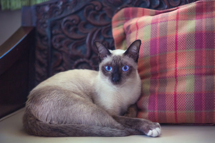 Close-up of siamese cat resting on sofa