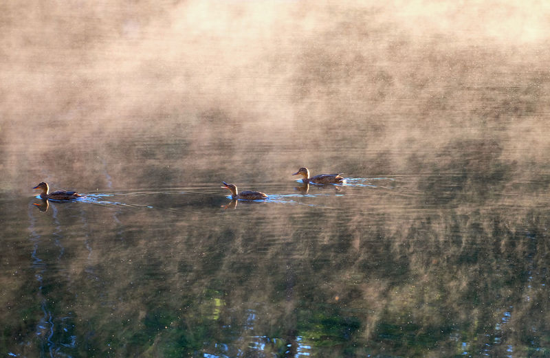 High Angle View Of Ducks Swimming In Lake During Foggy Weather