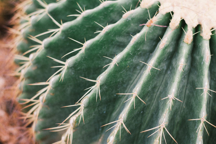 Aloe Vera Plant Needle - Plant Part Growing Succulent Plant Sharp Prickly Pear Cactus Barrel Cactus Blooming Thistle Pine Cone Saguaro Cactus Toadstool Alternative Medicine Fungus Stalk Cannabis Plant Chinese Herbal Medicine Pinaceae Tucson Barbed Wire Young Plant Pine Tree Spiky Razor Wire Homeopathic Medicine Medical Cannabis Aloe