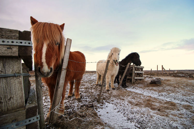 Horses standing in ranch against sky during winter
