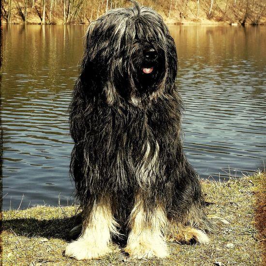Bentjesgosaugustin Gos D'atura Ilovemydog Dog Walking Mydog I Love My Dog Dog