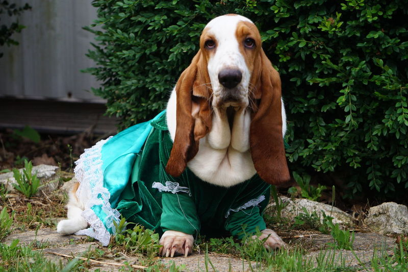 Lorilye sporting her St. Patties Day Dress. I still have to do a few modifications in order to make it fit properly lol Dog Pets Looking At Camera Portrait One Animal Domestic Animals Outdoors Animal Themes Close-up Beauty In Nature EyeEm Nature Lover Naturelovers EyeEm Best Shots - Nature Nature_perfection Nature On Your Doorstep Nature Photography Nature_ Collection  Nature Basset Hound Basset Hound Photography Basset Hound Portrait Basset Hound Moments Basset Hound Adventures Eye For Photography EyeEm Best Shots