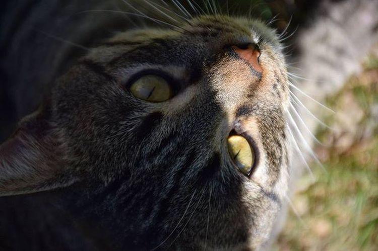 Those eyes 😻 Coloniafalguera Gat Gato Cat Neko Nekostragram Catstagram Catsofinstagram Catlover AdoptDontShop Adoptanocompres