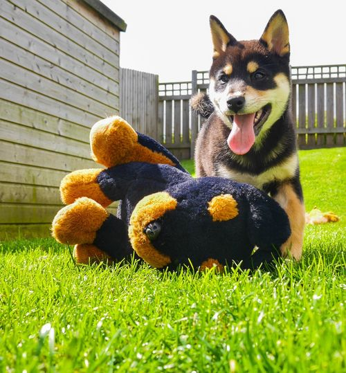 Just a little boy with his Rottweiler 💜 Shiba Inu Rottweiler Dogs Of EyeEm Dog Puppy Pets Dog Stuffed Toy Lawn Grass Close-up Building Exterior