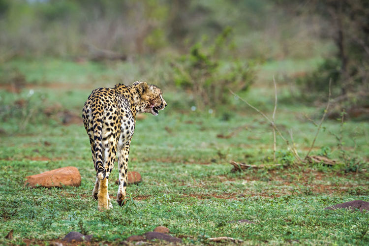 Cheetah walking on land