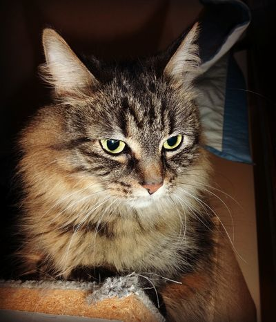 My cat, BB. She's a Mainecoon. Alertness Animal Animal Body Part Animal Eye Animal Hair Animal Head  Animal Themes Cat Cats Close-up Domestic Animals Domestic Cat Feline Focus On Foreground Looking Away Mammal No People Part Of Pet Pets Portrait Snout Staring Tabphotography Whisker