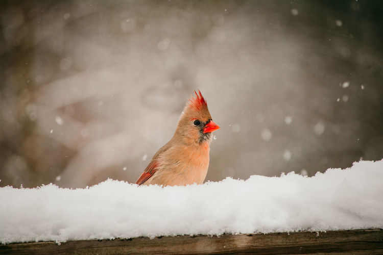 Female cardinal perched on a deck in the snow