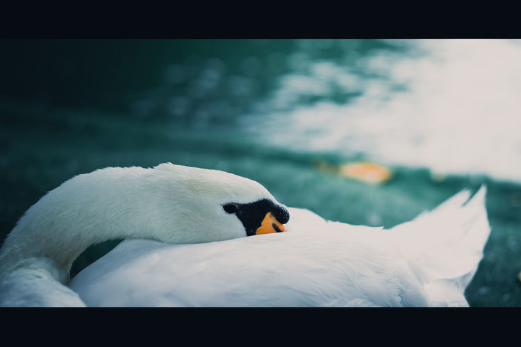 Close-up of a swan in water