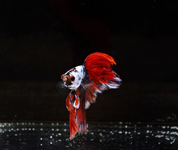 Siamese fighting, thai betta fish with beautiful  ready to fight in the black background isolate,