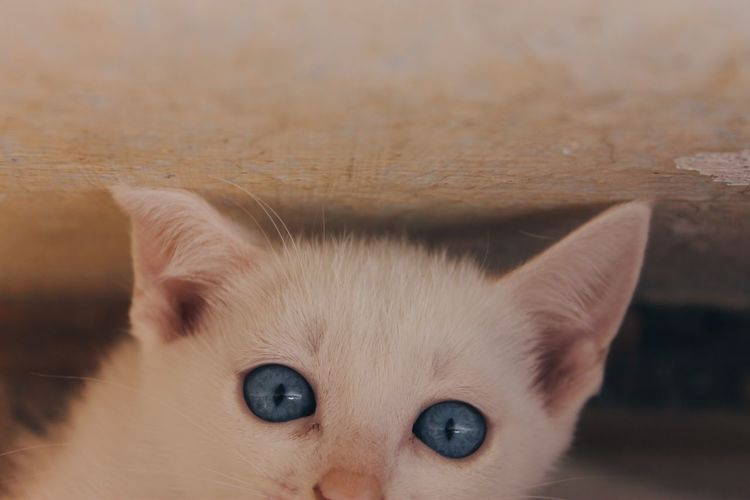 Animal Animal Eye Animal Head  Animal Themes Blue Blue Eyes Canon Canon1100d Canonphotography Cat Close-up Domestic Domestic Animals Domestic Cat Eye Feline Kitten Looking At Camera Mammal One Animal Pets Photography Portrait Whisker White