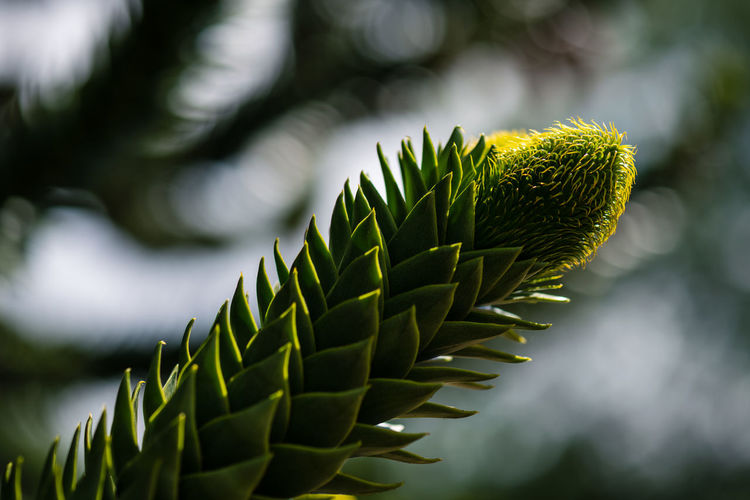 Beauty In Nature Bokeh Close-up Coniferous Tree Day Focus On Foreground Freshness Green Color Growth Leaf Nature Needle - Plant Part No People Outdoors Pattern Pine Tree Plant Plant Part Selective Focus Sharp Spiked Spiky Succulent Plant Tranquility Tree