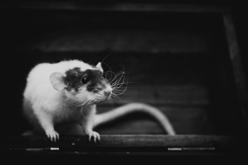 Close-up of rat against steps