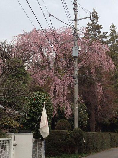 National Flag and Cherry Blossom