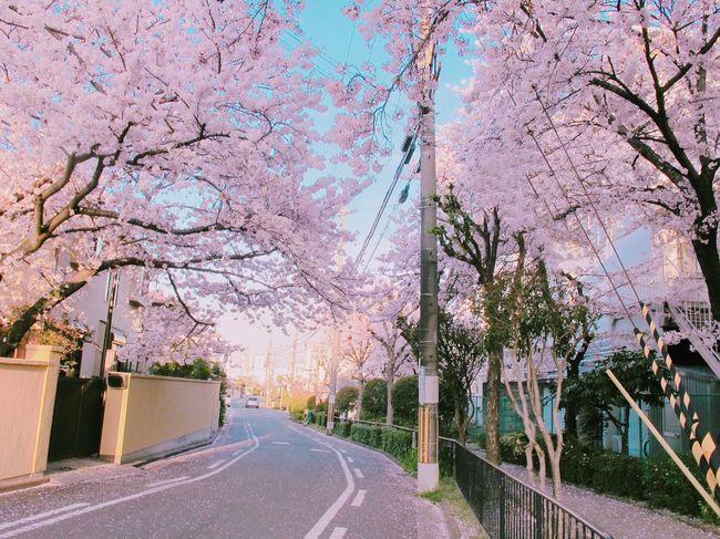 Showcase April Spring OSAKA Cherry Blossoms Urban Spring Fever Japan 春 サクラ お花見 조용하고 동화같던 골목 🌸😍