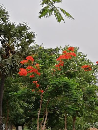 THE NATURE... FLORA... BEAUTY IN NATURE Tree Full Of Red Flowers Floralphotography Plant Beauty Flora Beauty In Nature ❤️❤️ Tree Red Sky Close-up Green Color Petal Plant Life Blooming Pollen Blossom Fragility In Bloom Branch