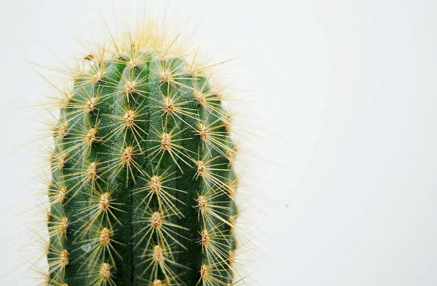 Cactus Thorn Spiked Growth Danger Beauty In Nature No People Cactus Flower Head Flower Cacti Garden Cacti Glowing Nature No People Kaktusflower Flowers Of EyeEm Cacti Cactuses Kaktus Cacti Flowers Eye4photography  Fragility Flowers Cacti Love Prickly Pear Cactus Eye4photography  EyeEm Best Shots