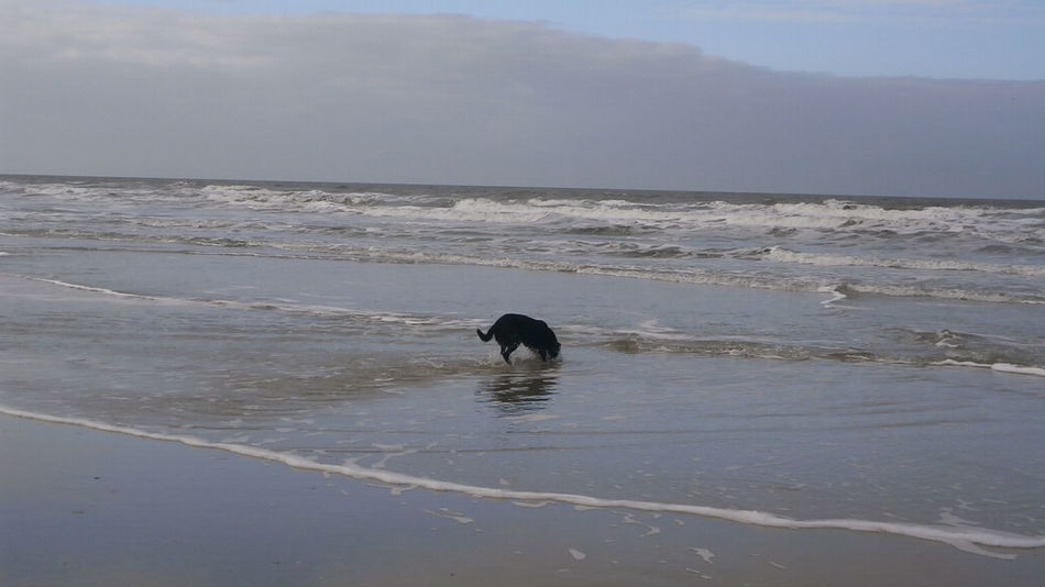 A dog is playing in the sea on the coasts of St. Peter-Ording, Germany. Animal Themes Autumn Beach Dog Germany Nature Nordsee Nordsee Feeling🐚🌾 Nordseeküste One Animal Outdoors Pets Playing With The Animals Schleswig-Holstein Sea Showcase October St Peter Ording Wattenmeer Autumn🍁🍁🍁