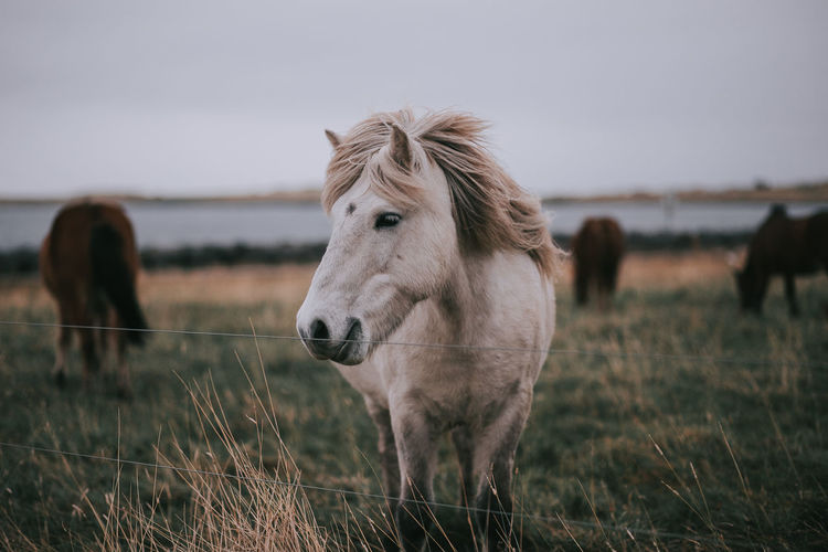 Iceland Animal Themes Beauty In Nature Day Field Grass Horse Livestock Mammal Nature Outdoors