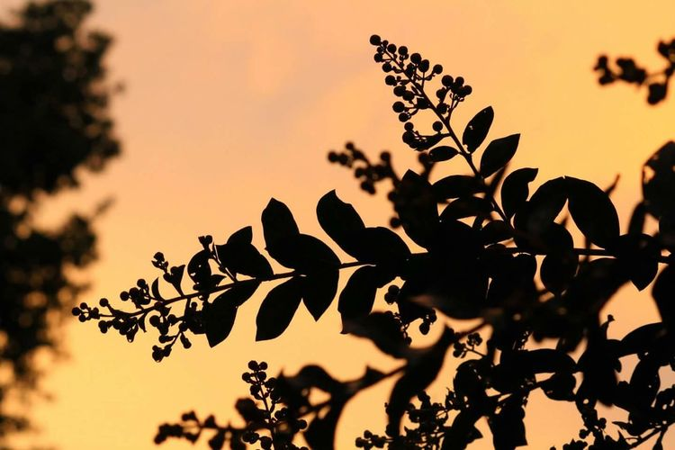Close-Up Of Silhouette Tree Against Sky During Sunset